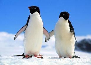 关于企鹅的作文