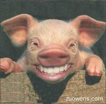 关于猪头的作文
