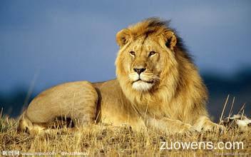 关于狮子的作文