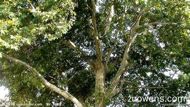 关于梧桐树的作文