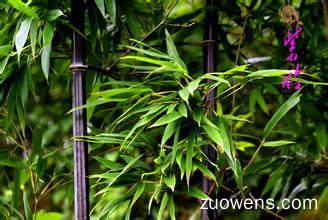 关于紫竹的作文