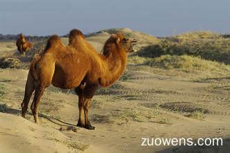 关于骆驼的作文