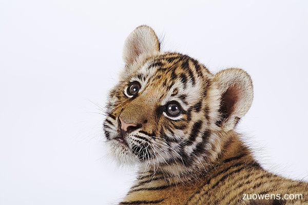 虎崽作文,关于虎崽的作文