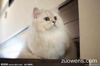 关于波斯猫的作文