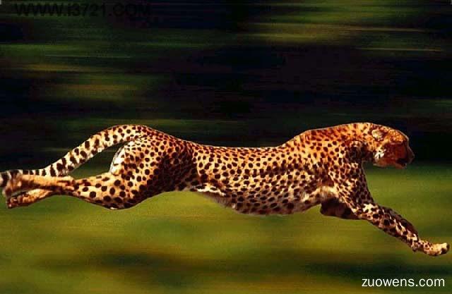 关于猎豹的作文