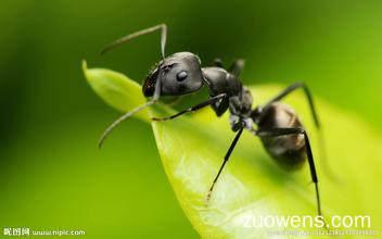 关于蚂蚁的作文