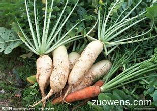 关于萝卜的作文