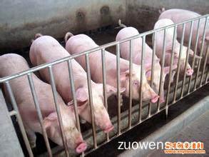 关于养猪的作文